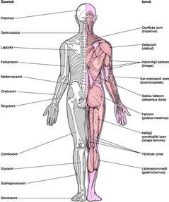 csontok ízületi gyulladása csuklóízület ulnar fájdalma