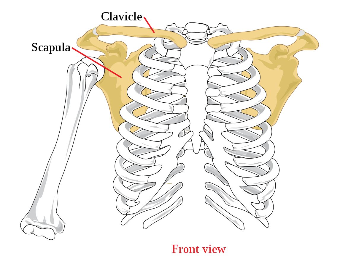 szegycsont clavicularis ízületi betegség hemlock és ízületi fájdalmak