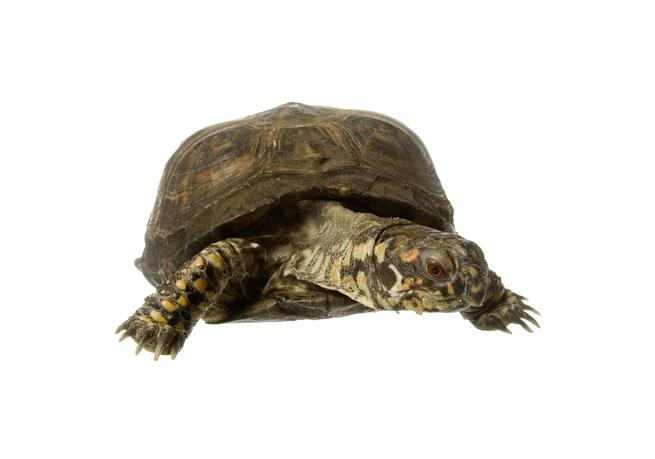 ízületi gyulladás egy teknősben