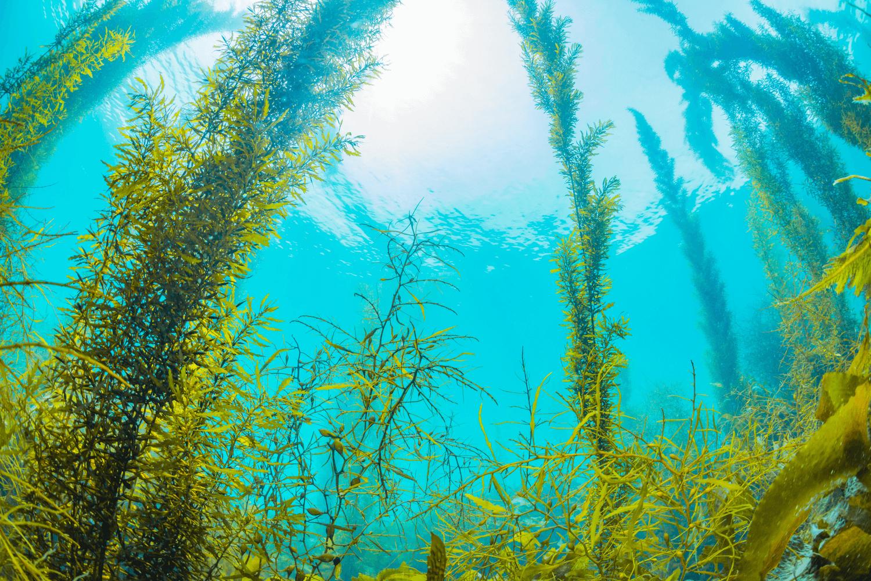 Vörös alga (Lithothamnium)