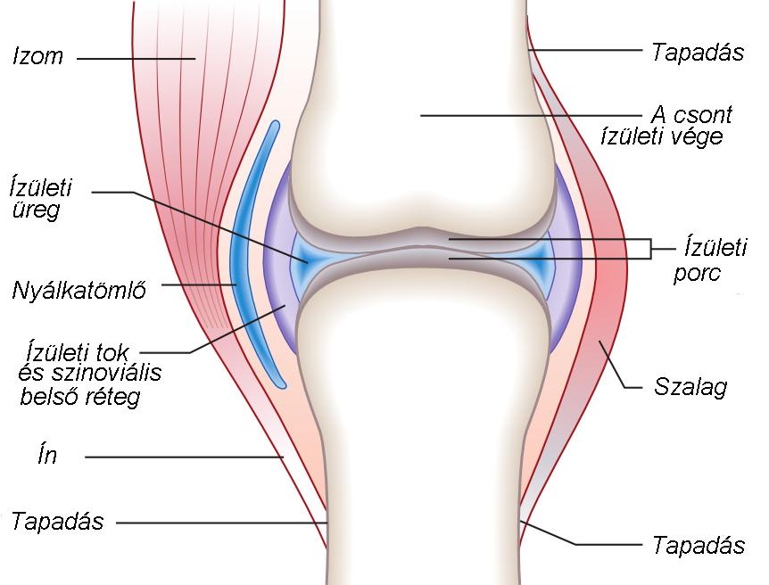 csontok ízületi gyulladása csípő izomfájdalma járás közben