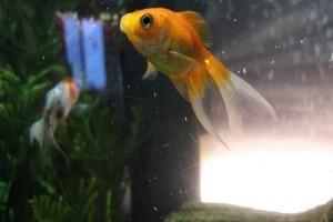 közös kezelés friss halakkal a fájdalom okai a középső ujjak ízületeiben