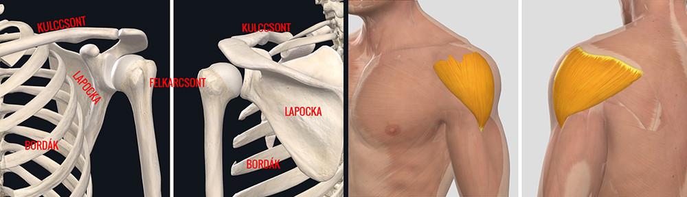 Milyen sérülések és betegségek vezetnek a jobb és bal váll fájdalmához
